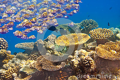 The jamb of sea fishes floats over a coral