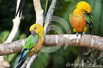 Jandaia Parakeet, parrot from Brazil