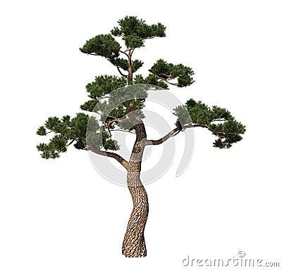 Japan pin tree