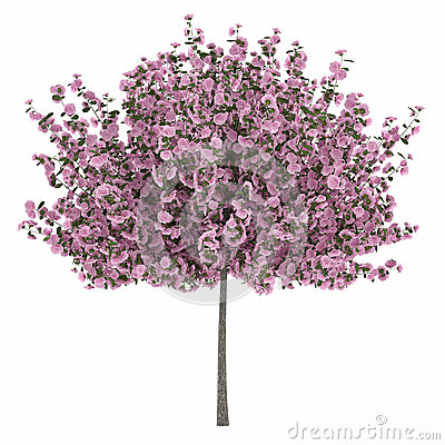 Japan tree sakura isolated