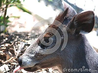 Japaneese鹿