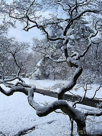 Japanes Maple Winter Stock Images - Image: 2095934