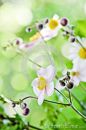 Japanese Anemone flowers, close up