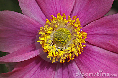 Japanese Anemone in summer, Japanese Windflower