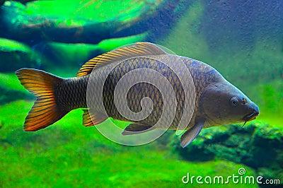 Japanese carp fish