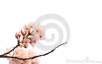 Japanese Cherry Blossom isolated on white