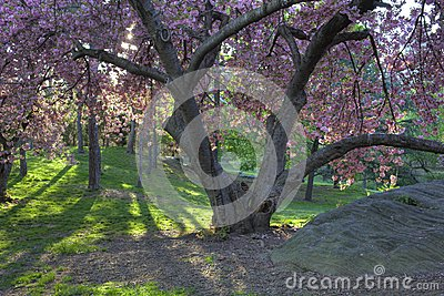 Japanese Cherry, Prunus serrulata