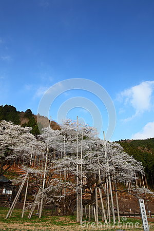 Japanese cherry tree
