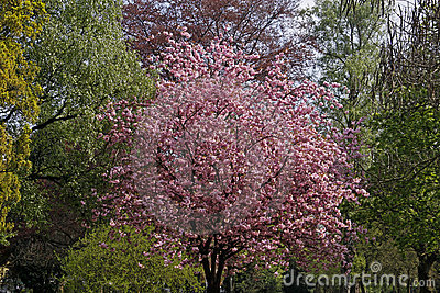 Japanese cherry tree on Germany