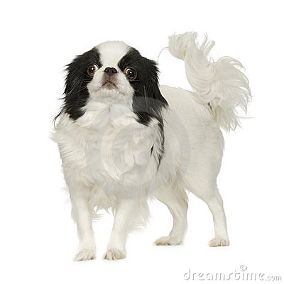 Japanese Chin Puppies on Stock Photography  Japanese Chin Dog  Image  4736522
