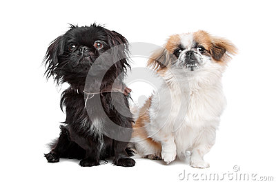 Japanese Chin and a pekingese dog