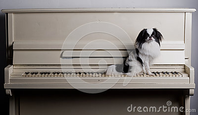 Japanese Chin on piano