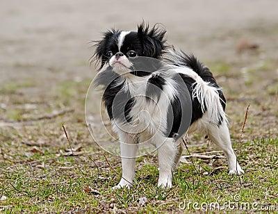Japanese Chin Puppy