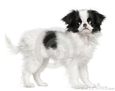 Japanese Chin puppy or Japanese Spaniel