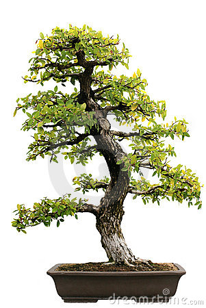 Free Japanese Evergreen Bonsai At Isolated Royalty Free Stock Photos - 6847928