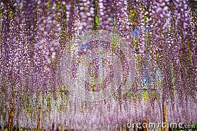 Japanese Fuji Wisteria Festival