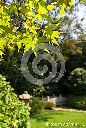 Japanese garden with Japanese maple