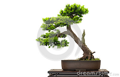 Japanese jew as bonsai tree