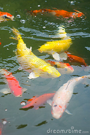 Japanese koi carp in a pond