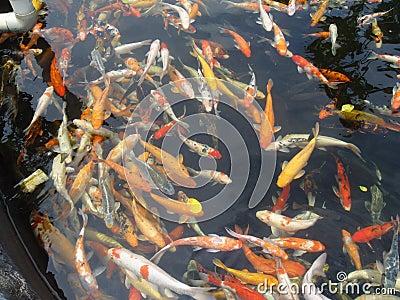 Japanese koi stock photo image 57664364 for Koi fish culture