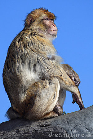 Free Japanese Macaque Royalty Free Stock Photo - 5658765