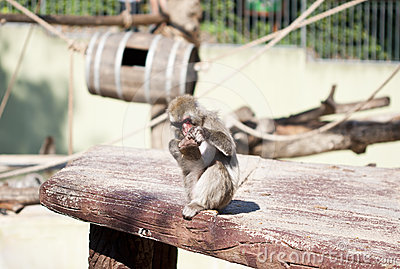 Japanese macaque monkey playing with his own foot