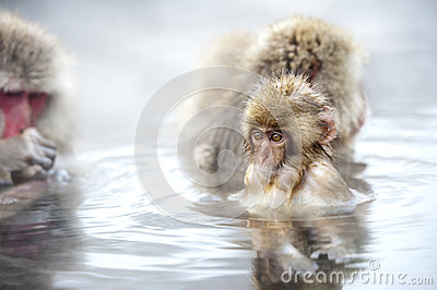 Macaca fuscata  take a hot spring bath