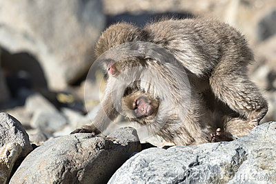 Japanese macaque walking