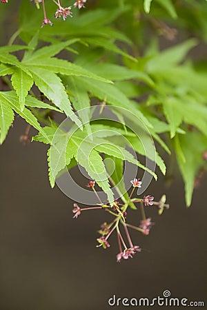 Free Japanese Maple Royalty Free Stock Image - 5196836