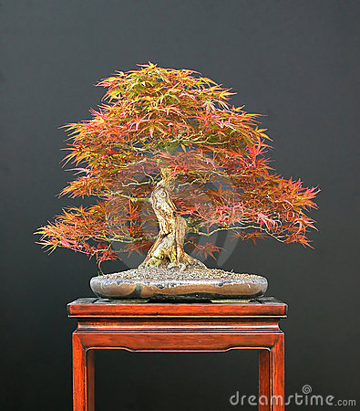 japanese maple bonsai tree. JAPANESE MAPLE BONSAI (click