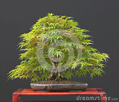 japanese maple dwarf varieties. japanese maple dwarf varieties
