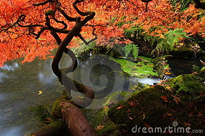Japanese maple during fall