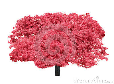 Japanese Maple Isolated