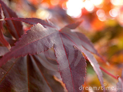 Japanese maple leaf turning