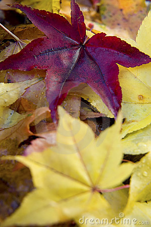 Free Japanese Maple Leaves Royalty Free Stock Photos - 1228058