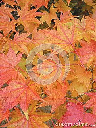 Free Japanese Maple Lutescens Stock Image - 288651