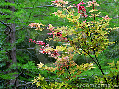 japanese maple tree. Royalty Free Stock Image: Japanese Maple Tree