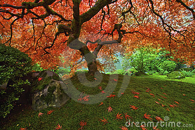 Japanese Maple tree in the Fall 2