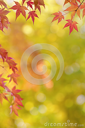 Free Japanese Maple Tree Leaves Colorful Background In Autumn Royalty Free Stock Photos - 34967088