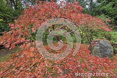 Japanese Maple Tree in Portland Japanese Garden Autumn Season