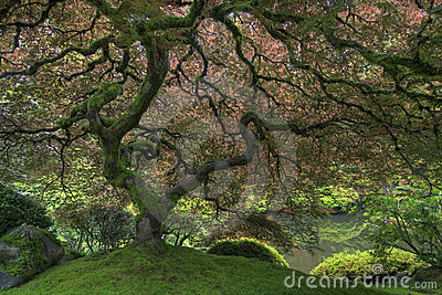 Japanese Maple Tree in Spring