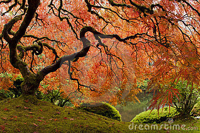 Japanese Maple - Wide Angle