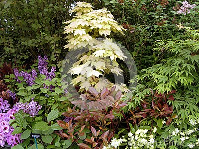 Japanese Maples and Lilac Tree Display