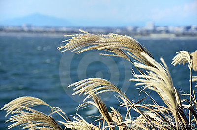 Japanese pampas grass.