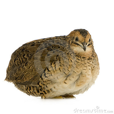 Free Japanese Quail - Coturnix Japonica Royalty Free Stock Images - 3961849