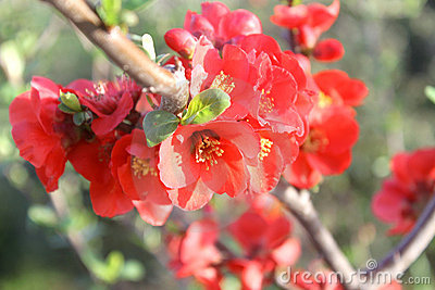 Japanese  red plum blossoms