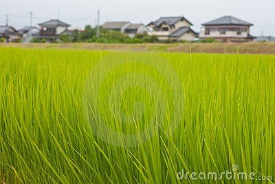 Japanese rice field