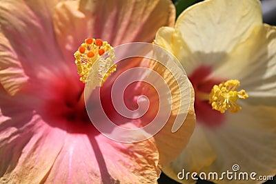 Hibiscus flowers macro