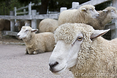 Japanese sheep