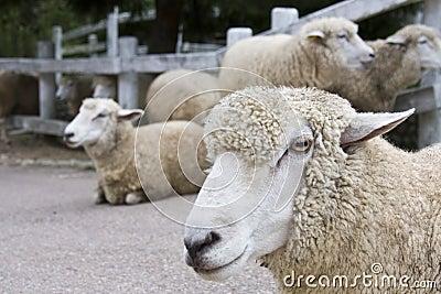 Japanese sheep